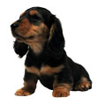 Miniature Long Haired Dachshund - BLACK & TAN (ANT)