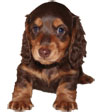 Miniature Long Haired Dachshund - CHOCOLATE and TAN - Dark (ELVIS)