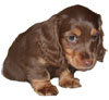 Miniature Long Haired Dachshund - CHOCOLATE and TAN - Light (VELVET)