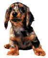 Miniature Long Haired Dachshund - SILVER DAPPLE (ZORRO)